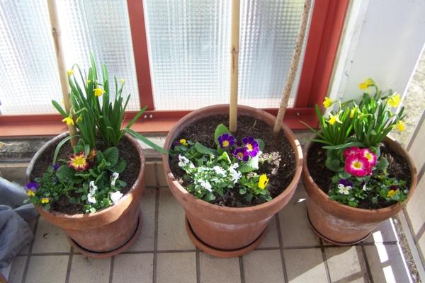 frühlingsblumen primeln topf balkon gestalten