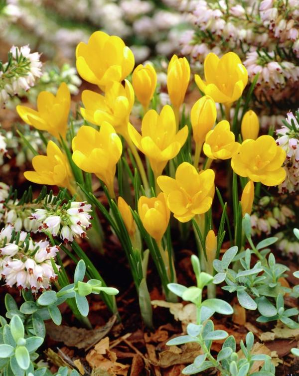 frühlingsblumen balkon bepflanzen gelbe krokusse blumen