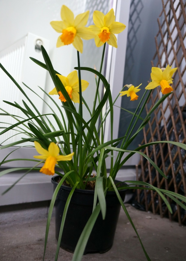 frühlingspflanzen narzisse balkon gestalten