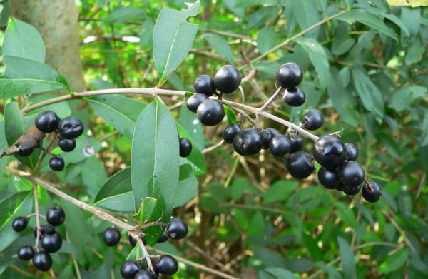 garten gestalten Ligustrum vulgare früchte
