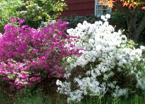garten gestalten azalee busch weiß rosa