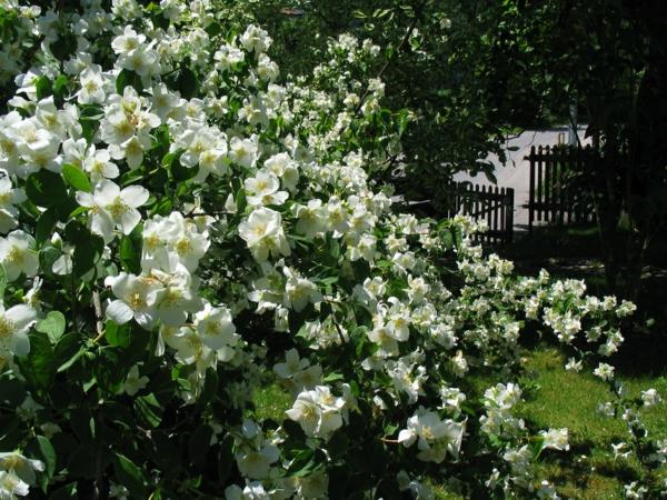 garten gestalten europäischer stil jasmin busch