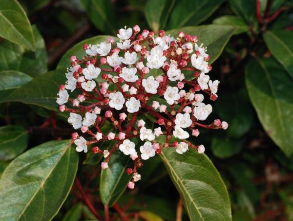 garten gestalten pflanzen Viburnum blüten
