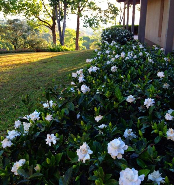 garten gestalten pflanzen gardenien busch