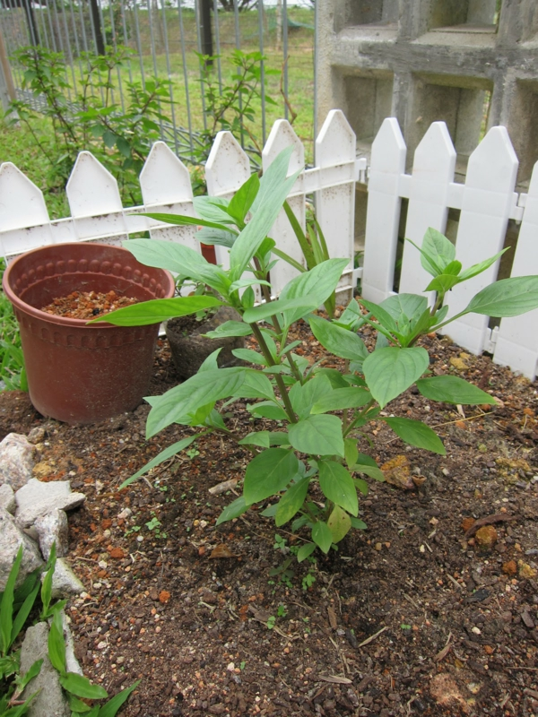 garten pflanzen grüne minze einpflanzen duftend