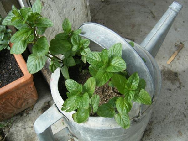 garten pflanzen grüne minze gesund