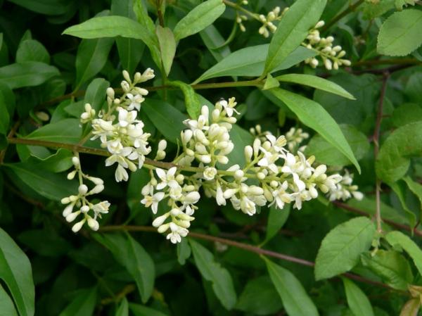 garten pflanzen zaun Ligustrum vulgare