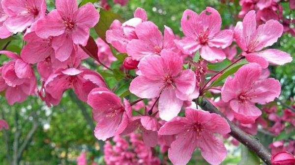 gartenpflege blühender baum pink
