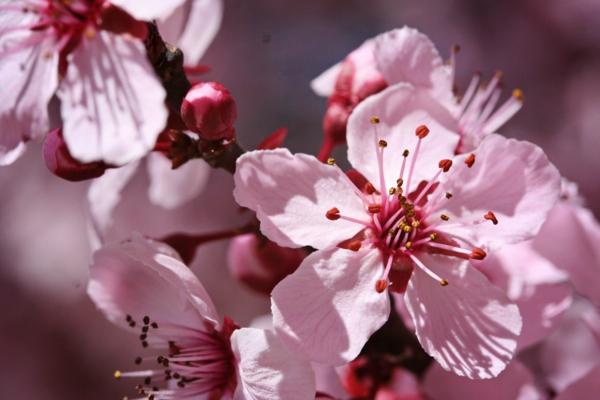 gartenpflege blüten baum mandelbaum