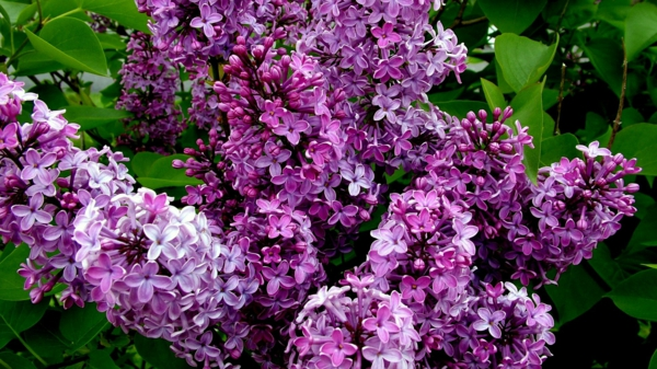 gartenpflege flieder baum busch lila