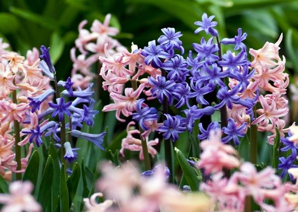 gartenpflege hyazinthen rosa blau