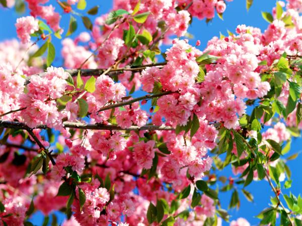 gartenpflege kirschblüten rosa