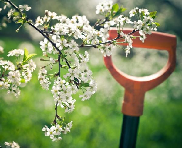 gartenpflege pflaume weiße blüten baum