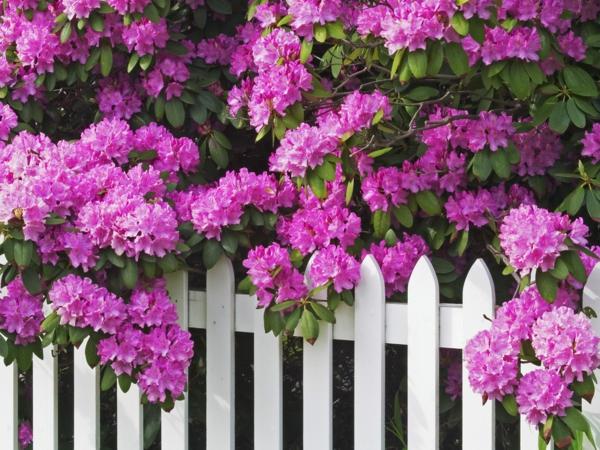 gartenpflege rhododendren violett weißer zaun