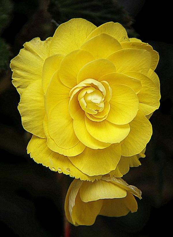 gelbe begonie blüte garten pflanzen