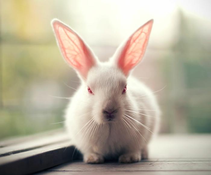 hauskaninchen bilder weißes kaninchen rote augen