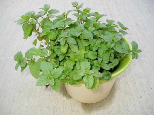 grüne minze blumentopf pflanzen