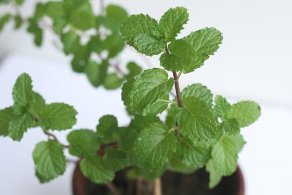 grüne minze einpflanzen blumentopf zimmerpflanzen