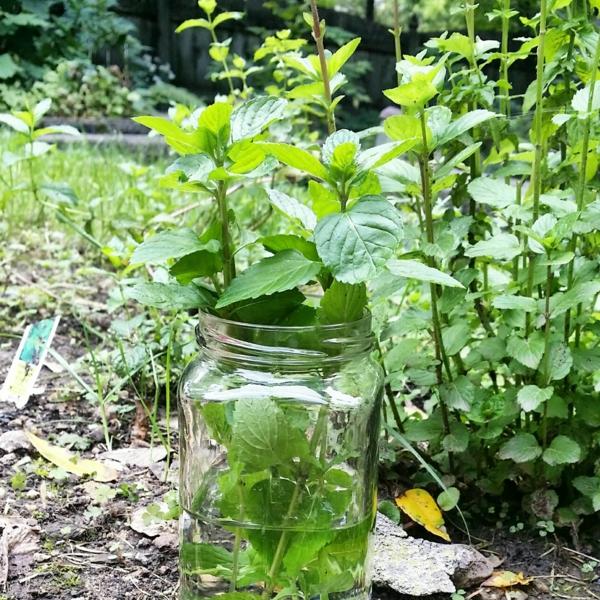 grüne minze garten einpflanzen gesund