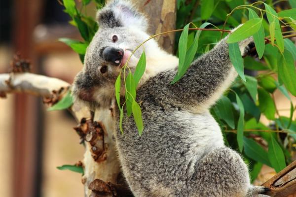 koalabär baum heilende Wirkung