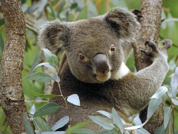 koalabär Eukalyptusbaum koala ernährung gesund essen