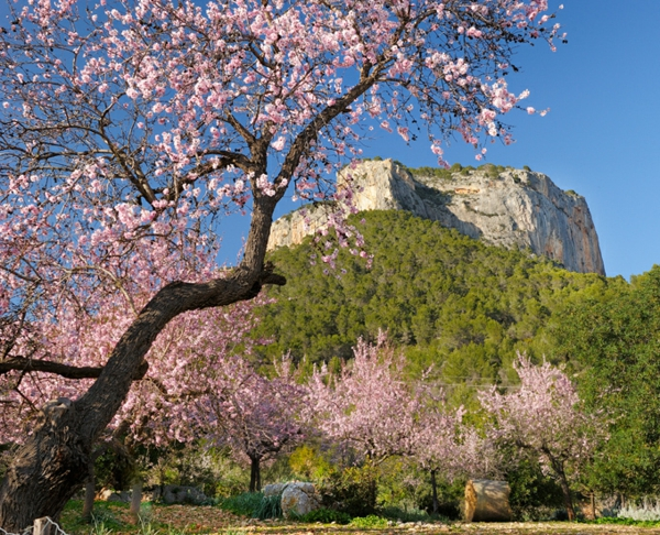 mallorcaurlaub mandelblüten bergen