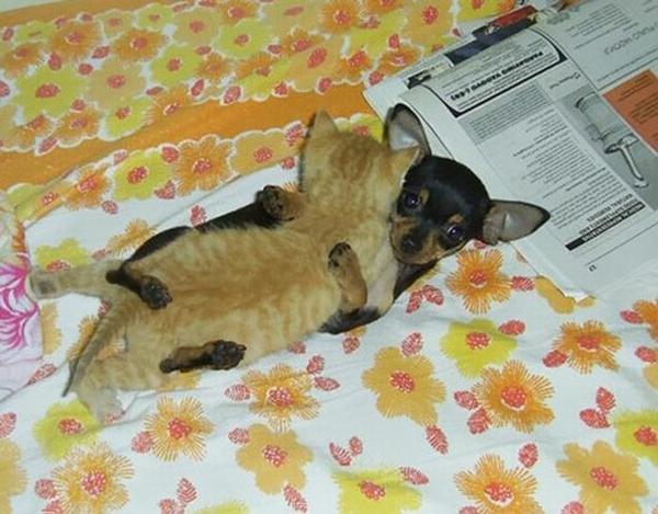 niedliche tierbilder ausgefallene haustiere baby katze und zwergpinscher