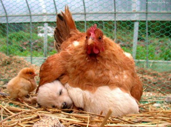 niedliche tierbilder ausgefallene haustiere hund und hühner