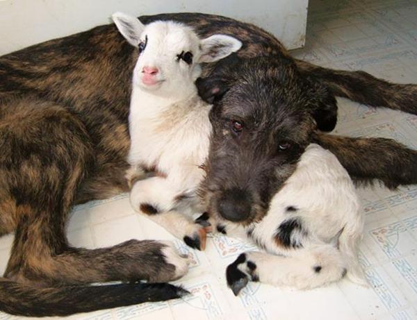 niedliche tierbilder ausgefallene haustiere hund und ziege