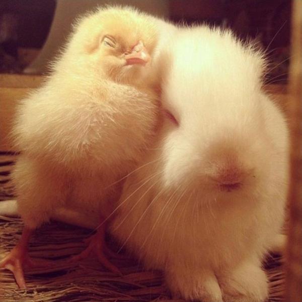 niedliche tierbilder ausgefallene haustiere küken und kaninchen
