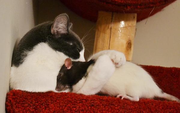 süsse tierbilder ausgefallene haustiere katze und ratte schwarz weiß
