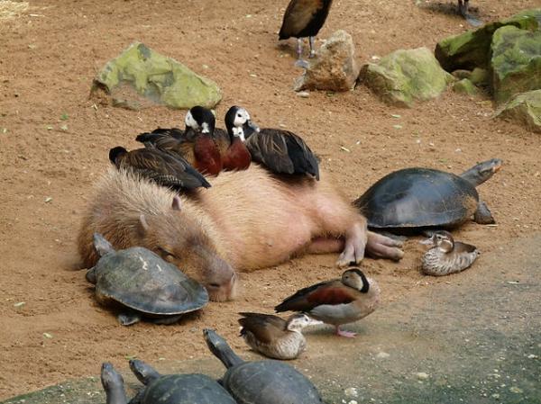 süsse tierbilder ausgefallene haustiere wasserschwein schildkröten enten als haustiere