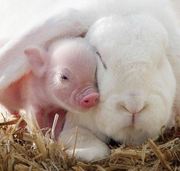 niedliche tierbilder ausgefallene haustiere zierschwein und kaninchen