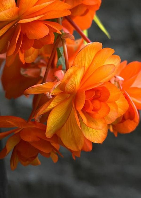 orange begonien garten gestalten pflanzen