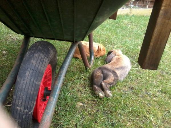 rasen richtig düngen rasenpflege garten kaninnchen
