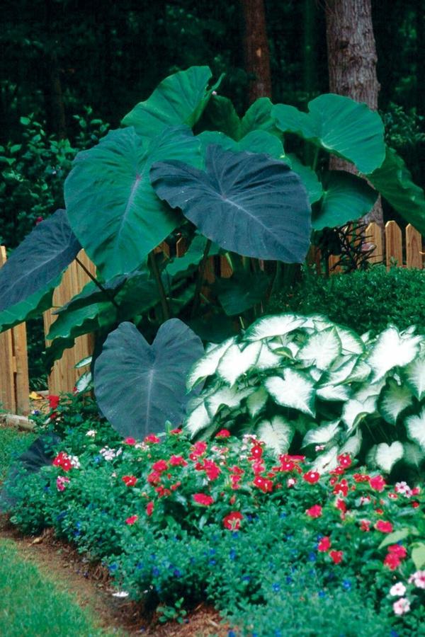 riesige elefantenohr pflanze garten pflanzen