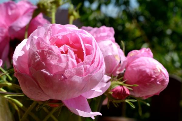 Die Rosen Arten Ein Herrliches Fest Der Sinne