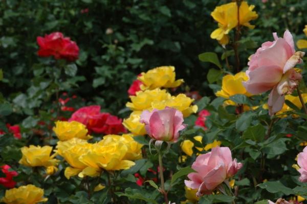 rosen arten bunt garten