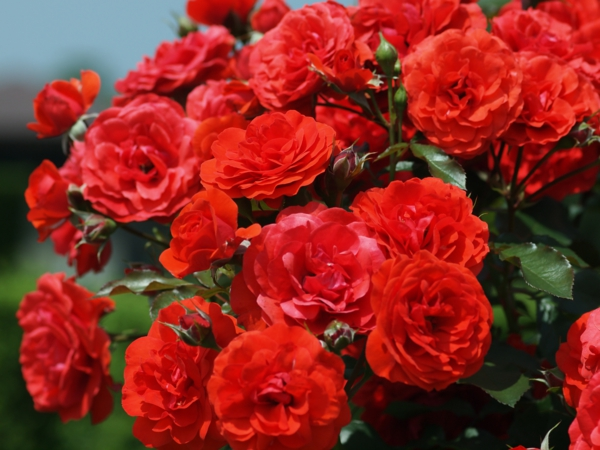 rosen arten gartenrosen rot