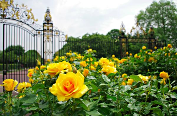 rosen arten gelb gartenrosen