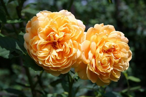 rosen arten gelb historische rose