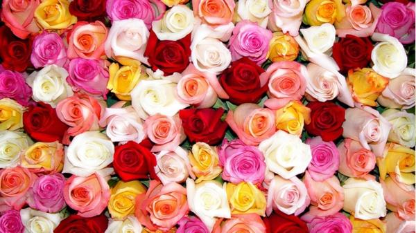 rosen arten klassisch rot rosa gelb weiß