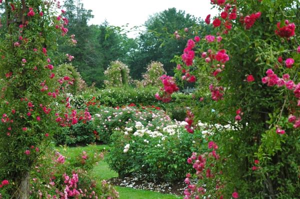 rosen arten kleine blüten pink weiß