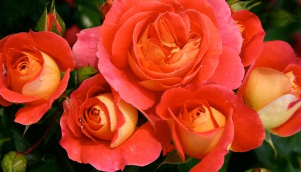 rosen arten orange garten