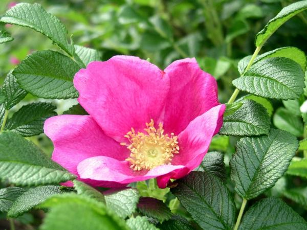 rosen arten rosa rugosa japanisch