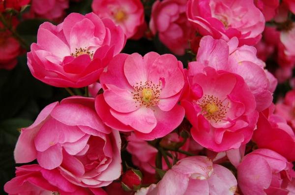 rosen arten pink zarte blüten