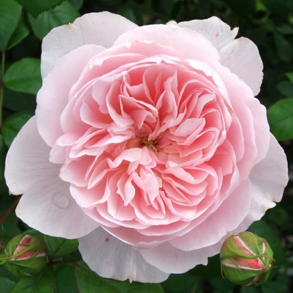 rosen arten rosa alte sorte wisley englisch