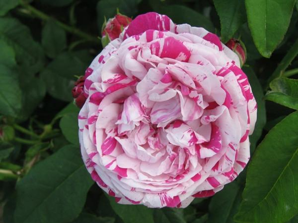 rosen arten pink weiß gemischt