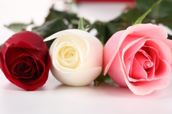 rosen arten rosa weiß rot