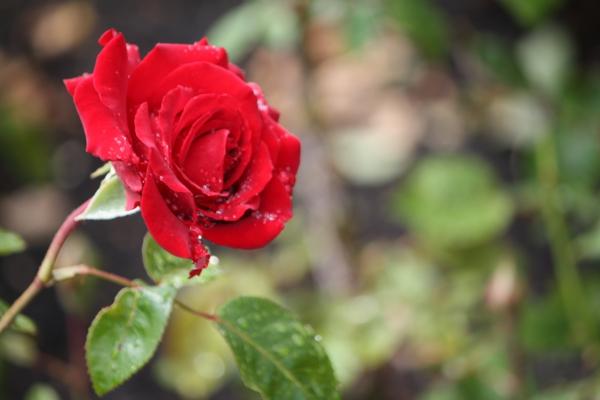 rosen arten rot wassertropfen